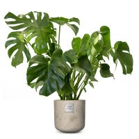 Philodendron_91-